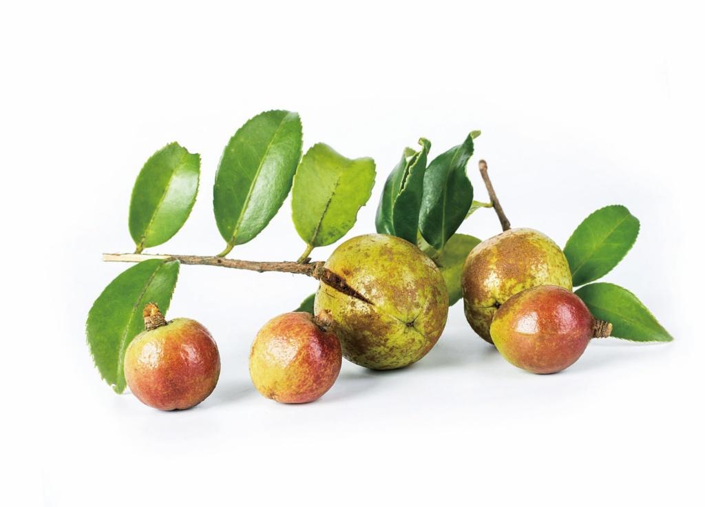 苦茶油(果實) 2